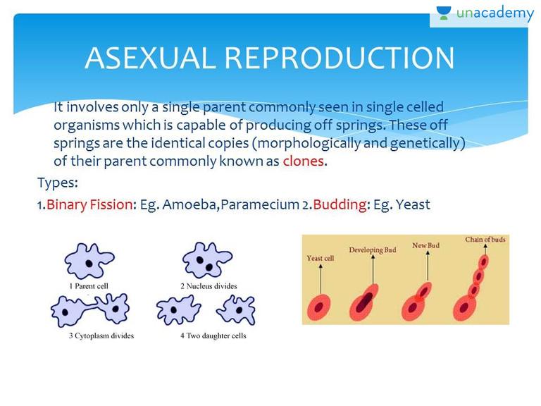 Cladophora asexual reproduction definition
