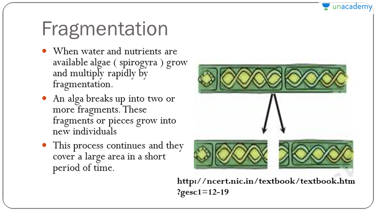 Asexual reproduction or fragmentation in spirogyra life