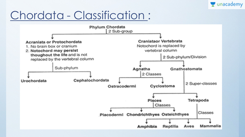 characteristics of chordate essay All vertebrates have the same basic chordate body plan:  characteristics of porifera all organisms belonging to the phylum porifera  essay on animals.